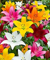 Lilium (Mix Color) - Bulbs