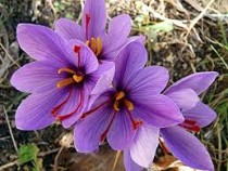 Crocus King of Strips (Purple) - Bulbs