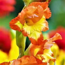 Gladiolus (Orange, Yellow) - Bulbs