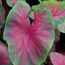 Caladium (Red, Wine Color, Green) - Bulbs