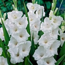 Gladiolus (White, Orange) - Bulbs