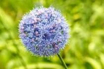 Allium Caeruleum serum (Purple) - Bulbs