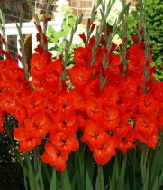 Gladiolus (Red, White) - Bulbs