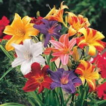Hemerocallis, Day Lily Hybrid (Random Color) - Bulbs