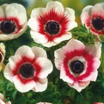 Anemone Bicolor (White, Red) - Bulbs