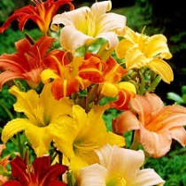 Hemerocallis, Day Lily (Random Color) - Bulbs