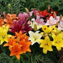 Asiatic Lily, Amiga Lily (Orange) - Bulbs