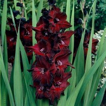 Gladiolus Black Beauty (Red, Black) - Bulbs