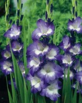 Gladiolus Charm Glow (Purple, White) - Bulbs