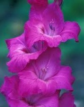 Gladiolus Friendship (Magenta) - Bulbs