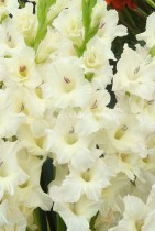 Gladiolus Pacifica (White) - Bulbs