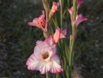 Gladiolus Priscilla (Pink, Yellow) - Bulbs