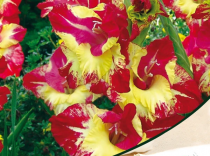 Gladiolus Tiger Flame (Red, Yellow) - Bulbs