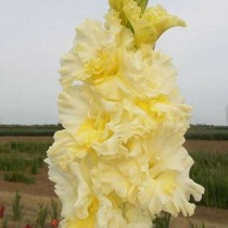 Gladiolus (Cream Yellow) - Bulbs