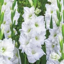 Gladiolus White Prosperity (White) - Bulbs