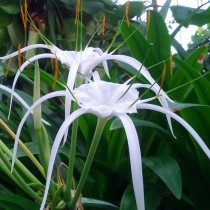 Hymenocallis Speciosa, Green-tinge spiderlily - Bulbs
