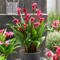 Calla Lily (Red) - Bulbs