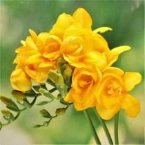 Freesia (Yellow) - Bulbs