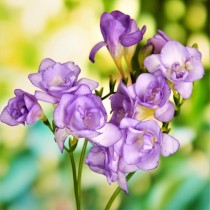Freesia (Purple) - Bulbs