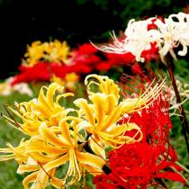 Lycorish, Spider Lily (Random Color) - Bulbs set of 5 piece