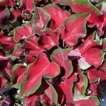 Caladium (Red, Pink) - Bulbs
