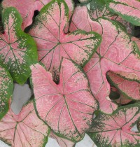 Caladium (Pink) - Bulbs