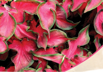 Caladium (Dark Red, Wine Color, Green Lime) - Bulbs