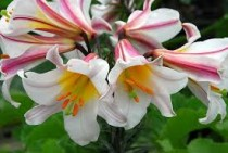 Lilium Regale, Regale Lily, Kings Lily (White)- Bulbs