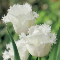 Tulip Honeymoon (White) - Bulbs
