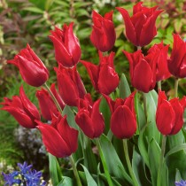 Tulip Pretty Woman (Red) - Bulbs