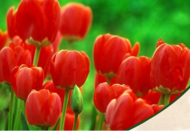 Tulip Fusor (Red) - Bulbs