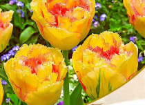 Tulip Amazone (Yellow, Pink) - Bulbs
