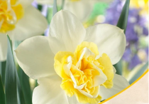Daffodil Blues Popeye (White) - Bulbs