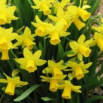 Daffodil Twinkle (Yellow) - Bulbs
