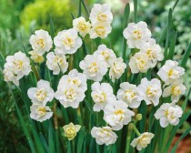 Daffodil Cheerfulness (White) - Bulbs