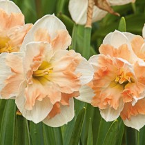 Daffodil Cum Laude (White, Orange) - Bulbs