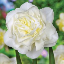 Daffodil Obdam (White) - Bulbs