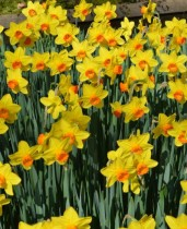 Daffodil Fortissimo (Yellow) - Bulbs