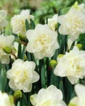 Daffodil Orangery (White, Yellow) - Bulbs