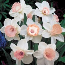 Daffodil Spring Pride, Salome (White, Orange) - Bulbs