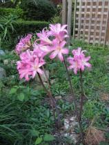 Amaryllis lily (Pink) - Bulbs