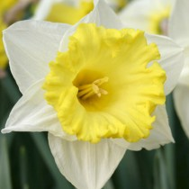 Daffodil Las Vegas (White, Yellow) - Bulbs