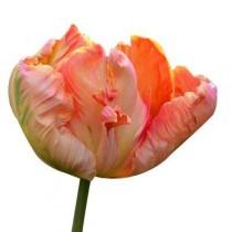 Tulip Salmon Parrot (Pink) - Bulbs