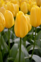 Tulip (Yellow) - Bulbs