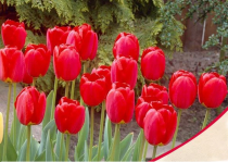 Tulip Stem Tent (Red) - Bulbs