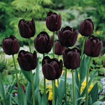 Tulip Queen of the night (Black) - Bulbs