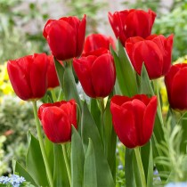 Tulip (Red) - Bulbs