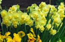 Daffodil Cheerfulness (Yellow) - Bulbs