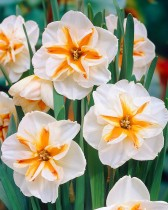 Daffodil Broadway Star (White) - Bulbs