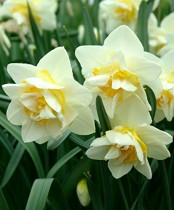 Daffodil (White) - Bulbs